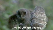 gri baykuş yavruları