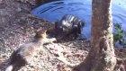 timsahla kavga eden cesur kedi