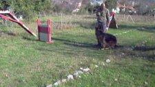 satılık alman çoban köpeği k9 alman kurdu köpek yavruları muğla ortaca