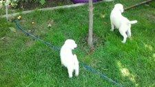 satılık akbaş yavrular 'kanka köpek' ten