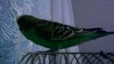 konuşan muhabbet kuşu