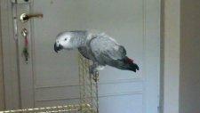 konuşkan papağan cesur