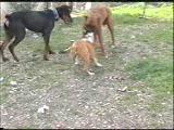 boxer pitbull doberman