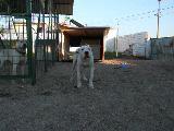 sergio-dogo argentino  www.doginnkennel.com