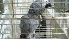 fenerli papağan cesur