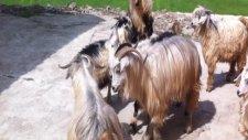 keçilerin  dansı  mesoraş
