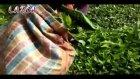 Çay Nasıl Toplanır? Lazca Konuşmalı Türkçe Altyazı
