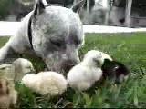 pitbul civcivlere annelik yapıyor