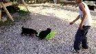 alman çobqan köpeği yavruları