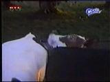 ineklerin öpüsmesi