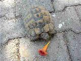 kara kaplumbağası beslemek