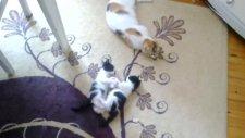 yavru kedilerin  oynayışı