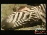 Adam Zebra Lesi Yıyor Kacırmayın