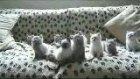 muzisyen kediler