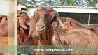 satılık holstein gebe düvekilis keçisi hangisinin yetiştiriciliği karlı ?
