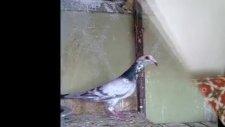 posta güvercinleri gaziantep'li mustafa