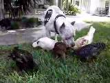 pitbul civciv 2