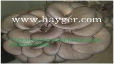 Hayger Mantar Üretimi  Pleurotus  Ostreatus Oyster Mushrom