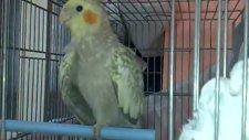 pearl sultan papağanı