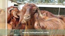 satılık halep keçisihalep keçisi özellikleri
