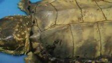 timsah yiyebilen kaplumbağa