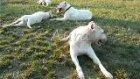 doginnkennel's dogo argentinos