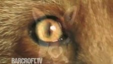 roxy the domesticated fox