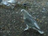 güvercin ortaca