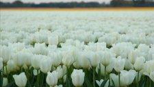 sakin - laleler beyaz