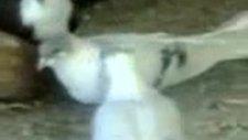 diyarbakır isimli güvercinküme video 5