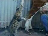 Süt seven kedi