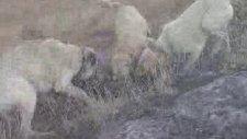 kangal kurt boğuşu