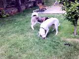 dogo vs husky