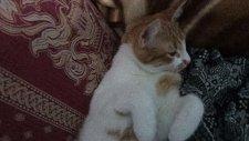 keyif yapan kedi boncuk