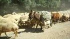 çoban bekir'in koyun sürüsü