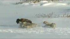 hayvanlar dünyasında böyle kalleşlik görülmedi; bizon'un sonu