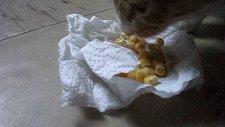 kedi boncuk mısır yiyor