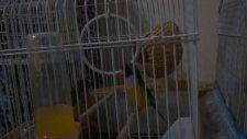 golden finch gökkuşağı ispinozu
