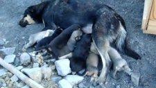 yavru köpekler süt emerken