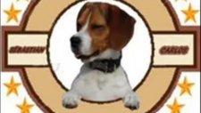 Beagle  pamukçu doghouse