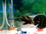 akvaryum süs balığı