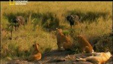aslanların müthiş buffalo avı