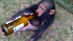 Alkolik Yavru Maymun