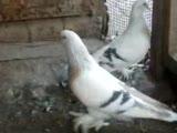 samsun adem yavuz kuşları
