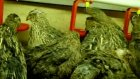 el yapımı bıldırcın keklik suluğu nipel suluk