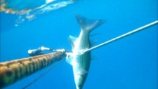 zıpkınla kefal avı - cefalo spearfishing pescasub