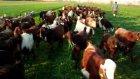 halep keçisi videoları,halep keçisi resimleri