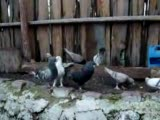 ankaralı yükselin kuşları