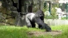 Çalışanlara toprak atıp kaçan şakacı goril