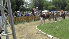 Awarded cattle breeds of the National Livestock Show Breed Semental and Bulgarian brown cattle